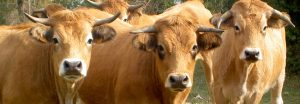 Aubrac-Kühe