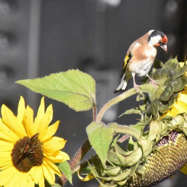 Klaiber an Sonnenblume